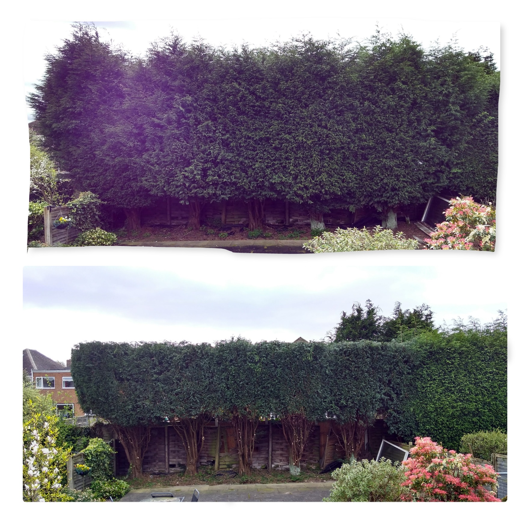 Conifer reduction